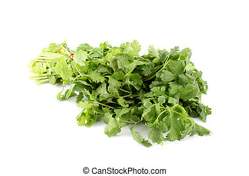 Cilantro or coriander - Leafy green and flavorful coriander,...