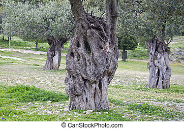 ancient olive tree trunks in Rhodes, Greece