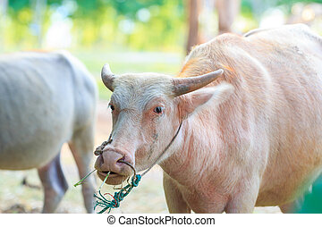 White Buffalo or Albino buffalo in farm