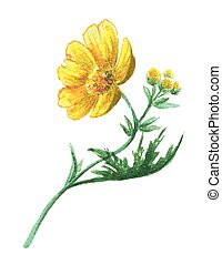 Buttercup yellow flower on white background. Watercolor...