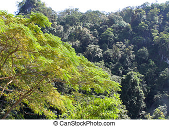 Evergreen tropical trees