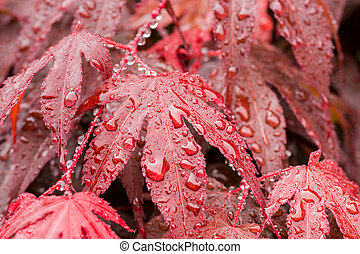 water drops on red mapple leaf