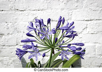 Agapanthus flower on brick wall background - Agapanthus...