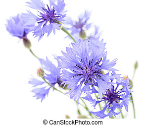 Cornflowers - Blue beautiful cornflowers isolated on white...