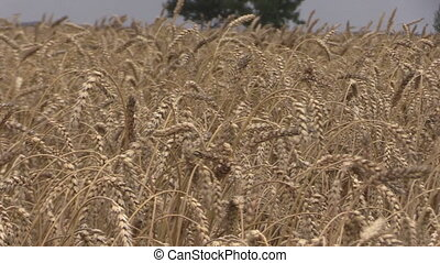 combine field stork birds - Ripe wheat ears move in wind and...