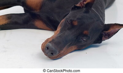 Lying dobermann pinscher looking sad - No one to play with...