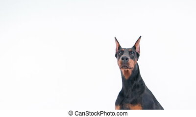 Like statue sitting doberman - Expressive look Close-up of...