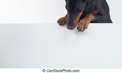Dobermann pinscher peering out - Waiting for you Portrait of...