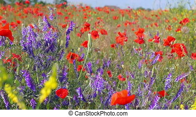 A Field of Poppies in Sunny Day