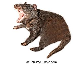 Tasmanian Devil - A Tasmanian devil yawns in Tasmania's...