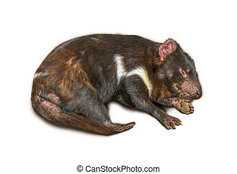 Tasmanian Devil - Sleeping Tasmanian Devil isolated on white...