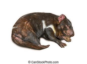 Tasmanian Devil - Sleeping Tasmanian Devil isolated on white...