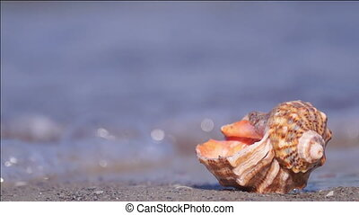 Seashell on the Beach - SeaShell on the Edge of the Water...