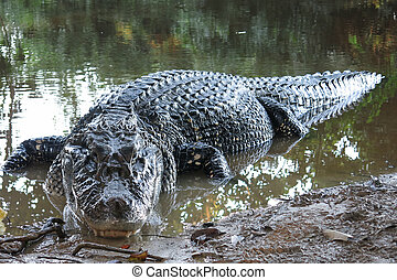 Black Caiman at Madidi National Park, Bolivia - Caiman...
