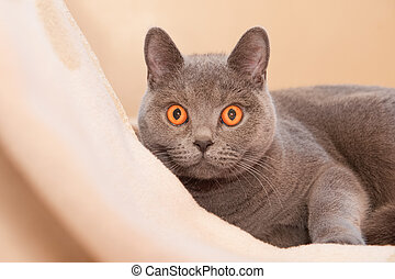 hypnotic cat - british shorthaired cat with amazing...