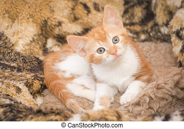 hypnotic kitten - hypnotic look from a beautiful ginger...