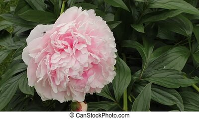 Peony flower - A large Peony flower and bud blowing in the...