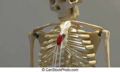 Human body skeleton model - Full size human body skeleton...