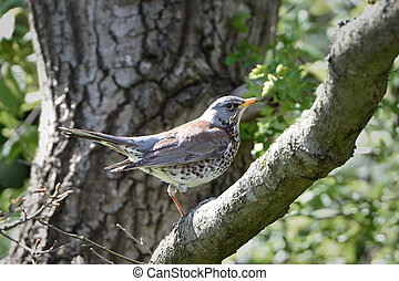 Fieldfare Turdus pilaris - Fieldfare resting on a branch in...