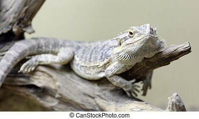 Bearded Dragon - Details of a bearded dragon in captivity in...