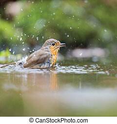 European Robin in water