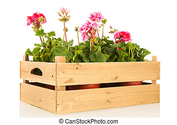 Pelargoniums in crate - Several pink Geraniums in wooden...