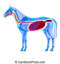 Horse Digestive System - Horse Equus Anatomy - isolated on...