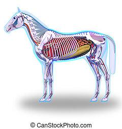 Horse Anatomy - Internal Anatomy of Horse isolated on white