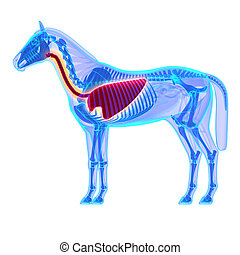 Horse Thorax - Horse Equus Anatomy - isolated on white