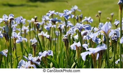 blue flowers field on a mount slope Ukraine
