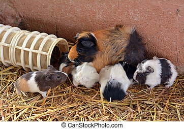 Guinea pig - Parti-colored Abyssinian Guinea pig mother feed...