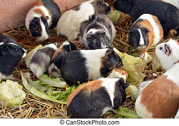 Guinea pigs eat Lettuce - Parti-colored Abyssinian guinea...