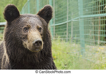 Portrait of bear in a Zoo - Portrait of a bear in a Zoo with...