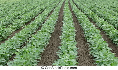 Agriculture,  soybean plant field