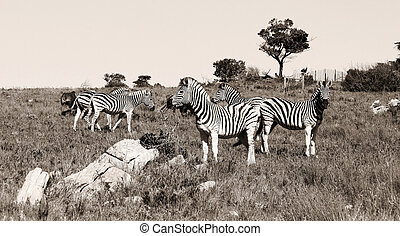 A group of zebras grassing in Kap River Nature Reserve,...