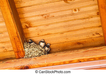 Swallow baby birds in nest under a wooden shelter.