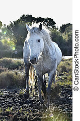 Portrait of the White Camargue Horse in counterlight spoil