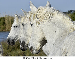 Portrait of the White Camargue Horse. Provance, France