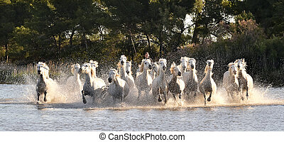 Herd of White Horses Running and splashing through water....