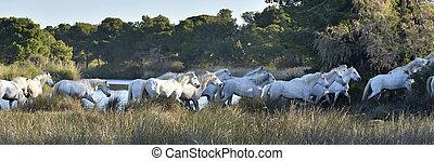 Herd of White Horses Running . Early morning at sunrise....