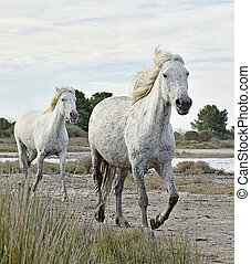 Portrait of the White Camargue Horse - Portrait of the...