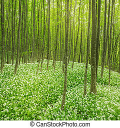 Deep forest. - White flowers of the ramsons or wild garlic...