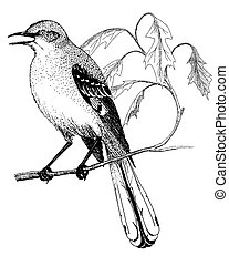 Northern Mockingbird - Mimus polyglottus