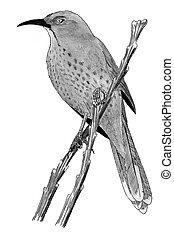 Curve-billed Thrasher - Toxostoma curvirostre