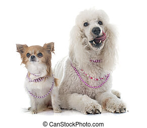 standard poodle and chihuahua in front of white background