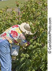 Raspberry picking at a rural farm.