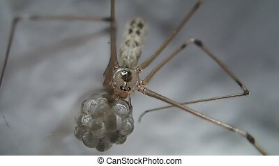 Spider leaving - A spider with eggs leaving the image