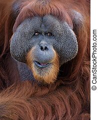 Orangutan portrait - Closeup portrait of adult male...