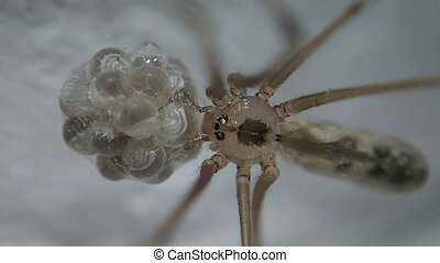 Cell spider waiting - A cell spider waiting for its eggs to...