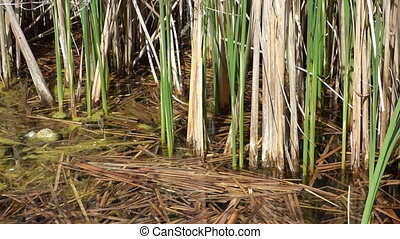 Lake with rushes
